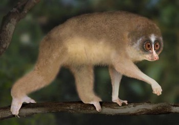 i-58a20a72213ce574adc0e58e9b29475d-Horton-Plains-slender-loris-painting-Aug-2010.jpeg